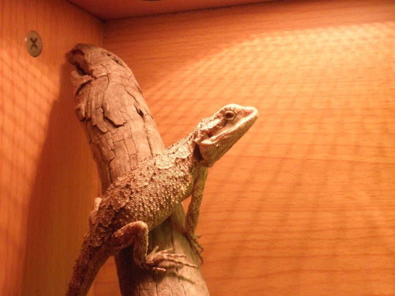 My Bearded dragon Pictur13