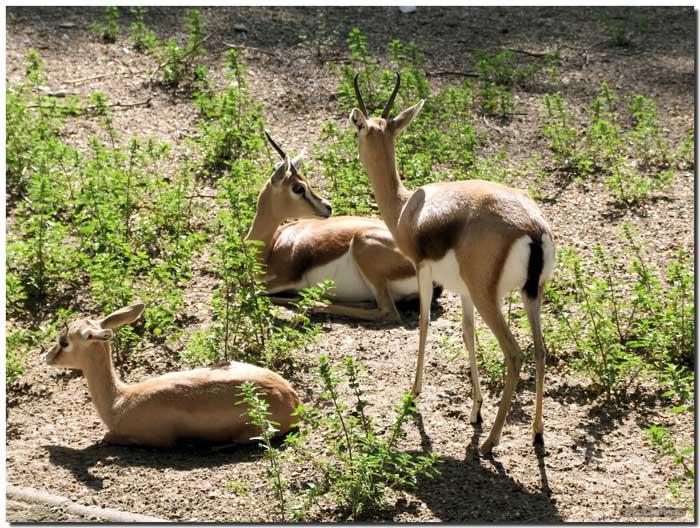 Histoire de la gazelle Marocaine Gazell10