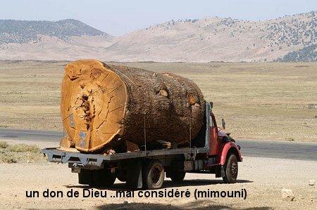La belle (arbre) assassiné ! Mimoun18