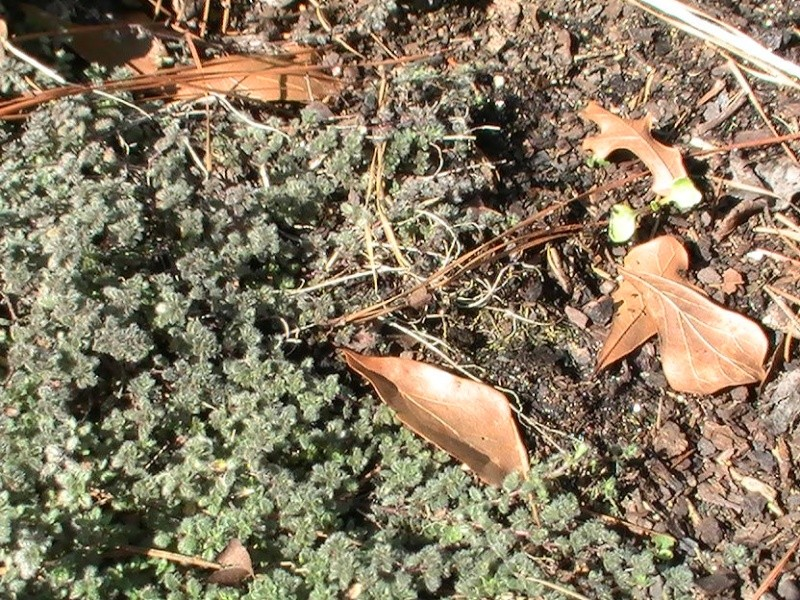 Herbs- Wooly thyme Pic_0219