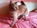 FARANDOLE - Femelle tigrée rousse de 1 an Img_0414