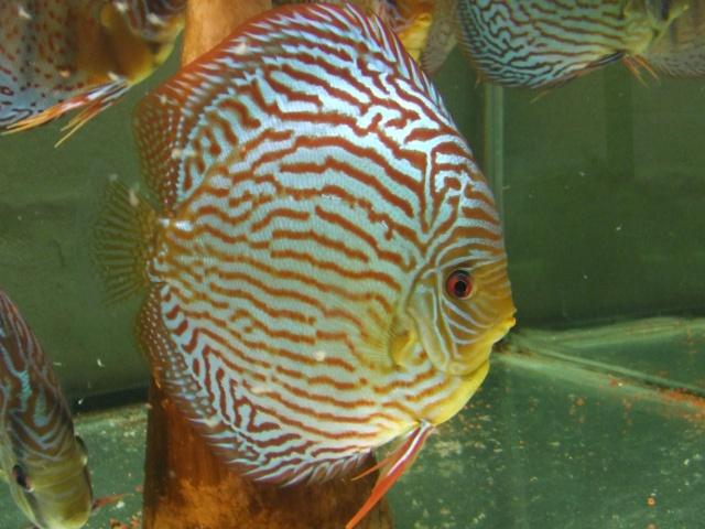 reproduction tr (turquoise rouge) piwowarsky Dscf5222