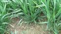 photo de mes blés   Photo_12