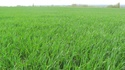 photo de mes blés   Photo_14