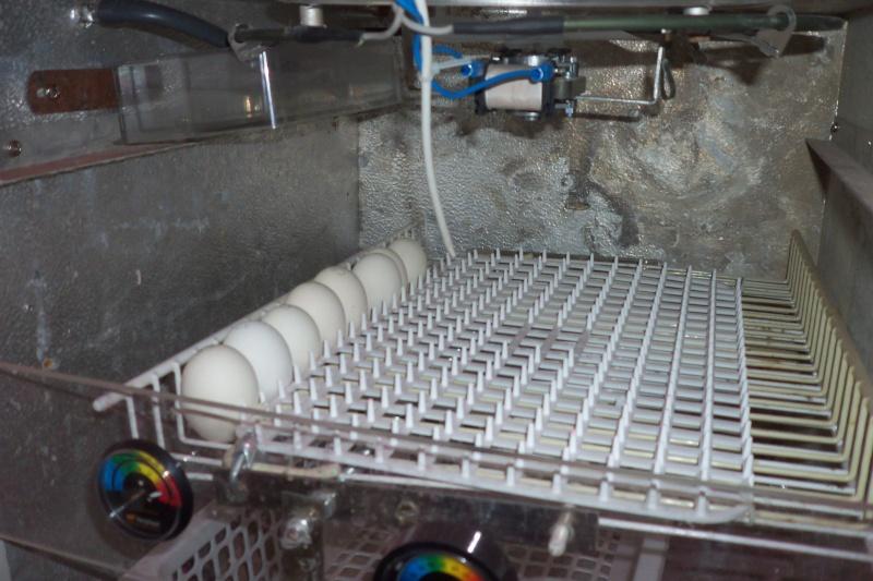 Come funziona incubatrice per uova di gallina - Lettera43 ...