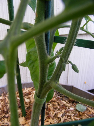single vine trellising tomatoes Dscf0530