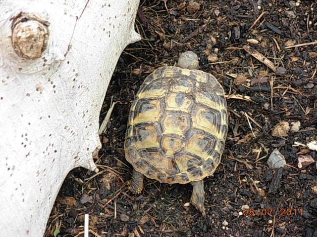 l'arrivée de mes tortues Dscn7211