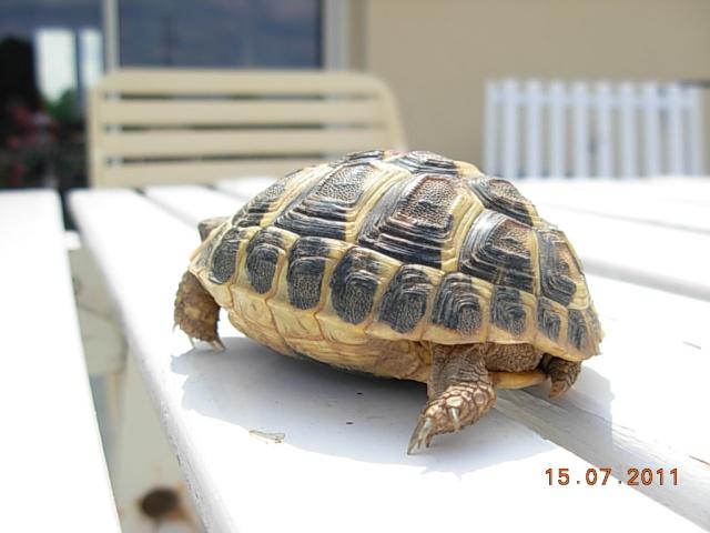 l'arrivée de mes tortues Flossi11