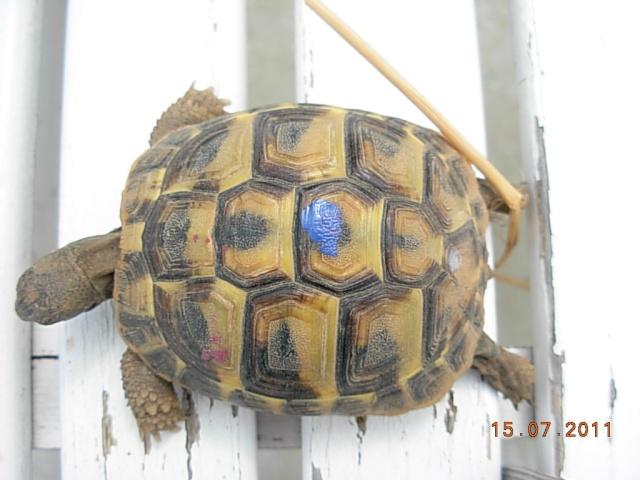 l'arrivée de mes tortues Lolott10
