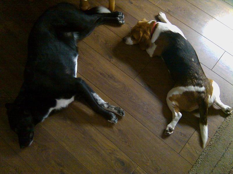 FIBBY, beagle femelle, 9 mois 1/2 (68) Fibby_20