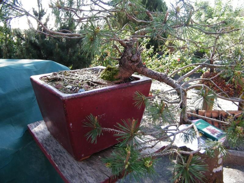 expo bonsai st paul des landes(15) Dscf0940