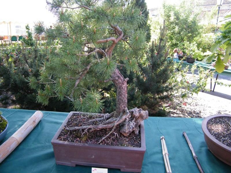 expo bonsai st paul des landes(15) Dscf0941