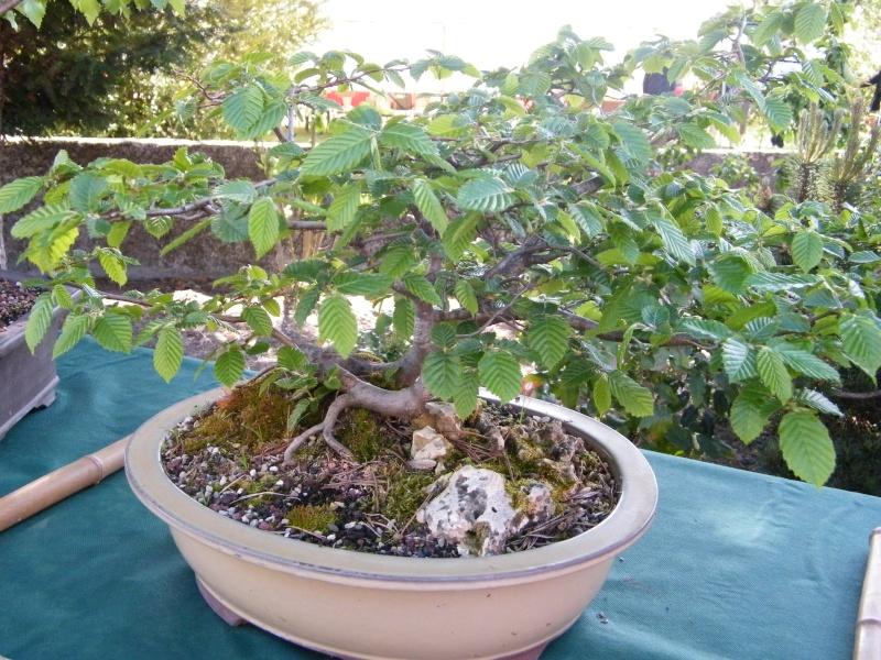 expo bonsai st paul des landes(15) Dscf0942