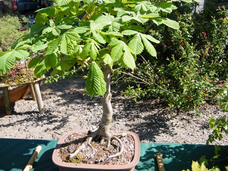 expo bonsai st paul des landes(15) Dscf0943