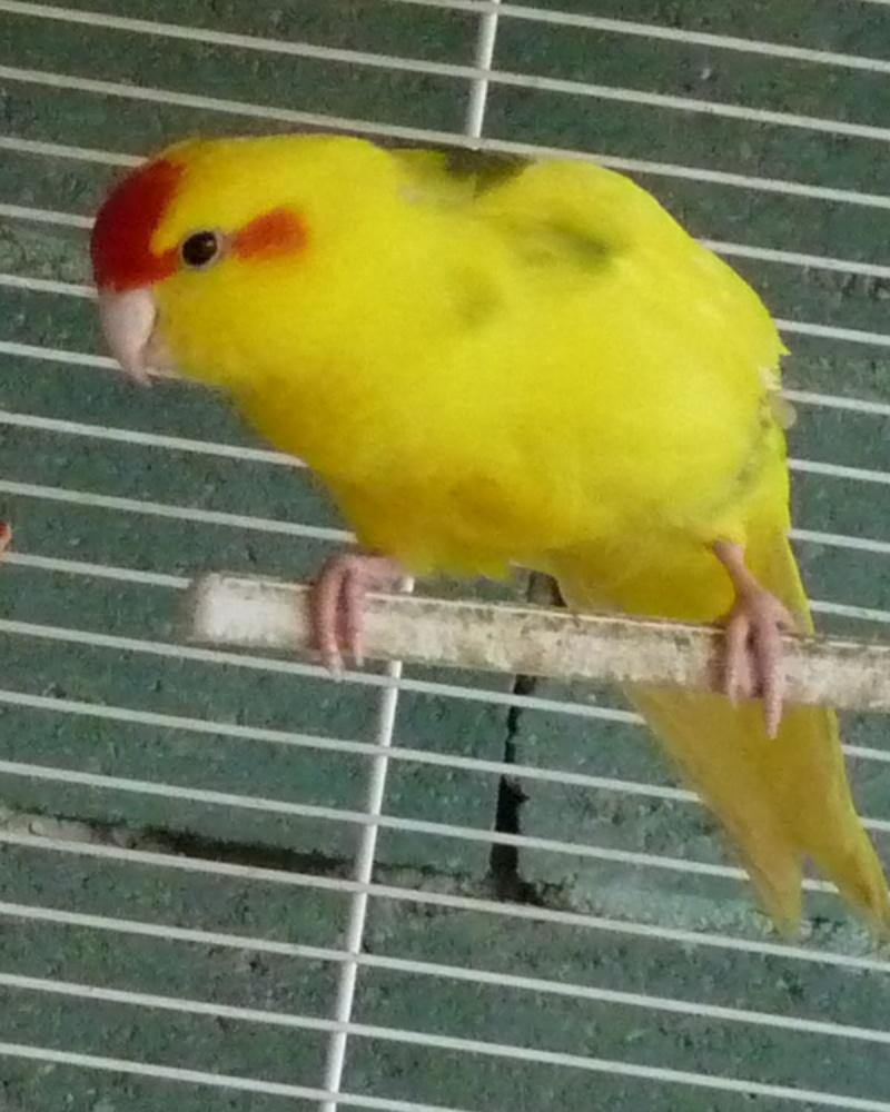 Mon kakariki a perdu toutes ses plumes vertes... P1110133