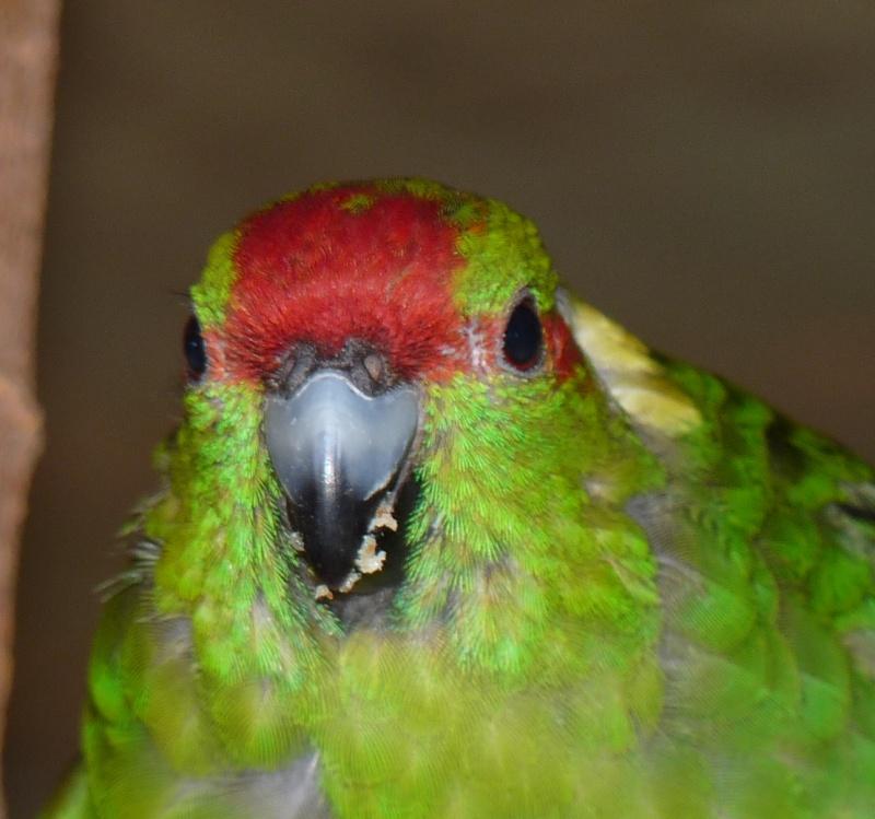 Mes Kakariki s'arrachent les plumes derrière la tête P1120113