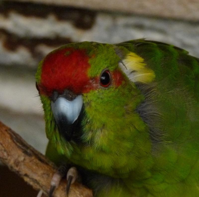 Mes Kakariki s'arrachent les plumes derrière la tête P1120114