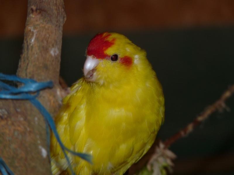 Mon kakariki a perdu toutes ses plumes vertes... P1120115