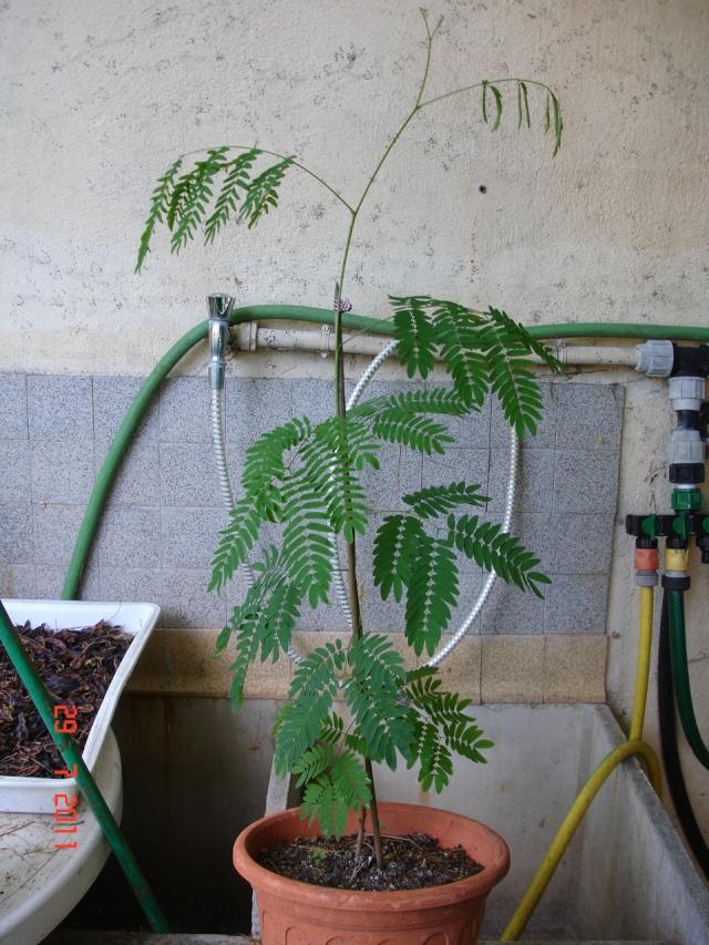 Quelqu'un connait il cet arbre ?? Un acacia ? Lagers12