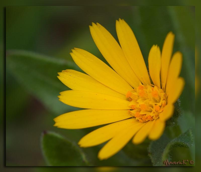 Premiére petite fleur sauvage de l'année Jaune110