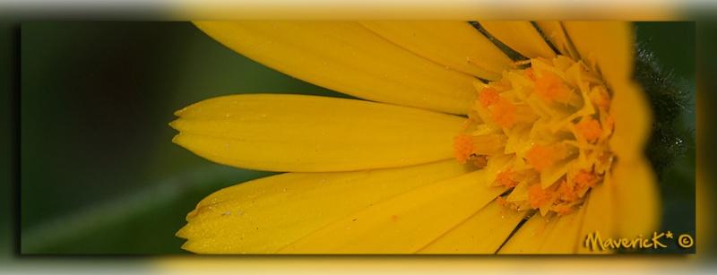 Premiére petite fleur sauvage de l'année Jaune410