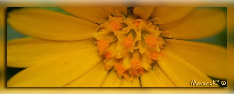 Premiére petite fleur sauvage de l'année Jaune510