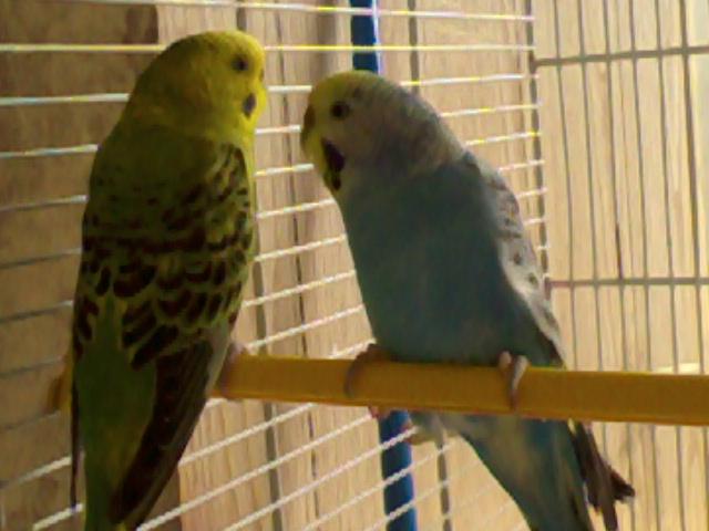 deux nouvelle perruche son arrivé Photo019