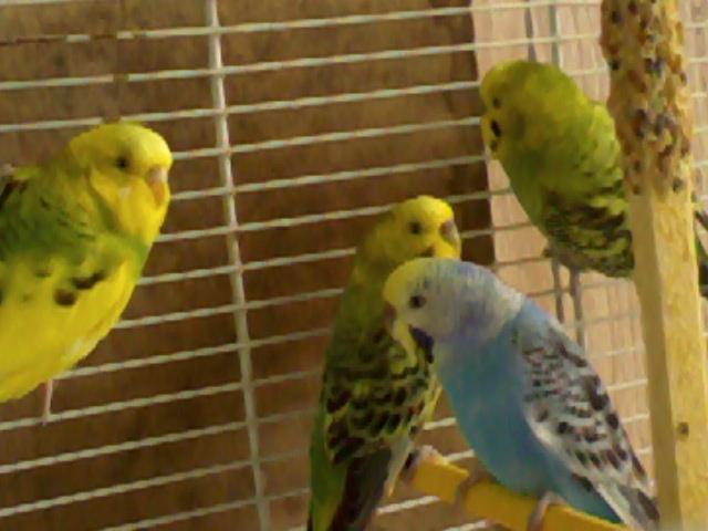 deux nouvelle perruche son arrivé Photo020