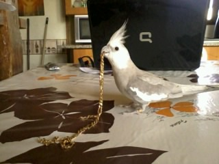 ma calopsittes joue avec ma chaine  Photo048