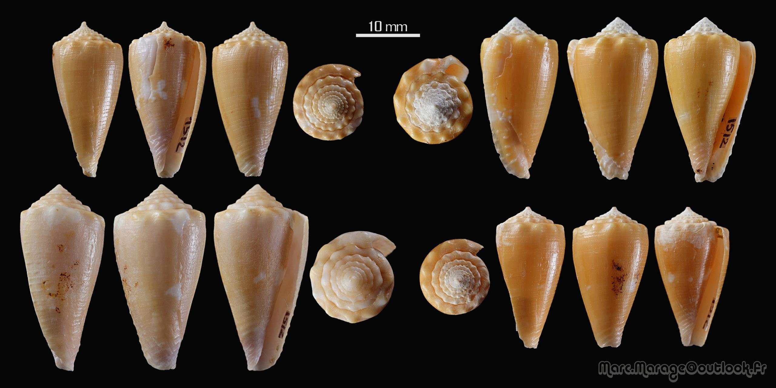 Conus (Phasmoconus) exiguus optimus Sowerby III, 1913 voir Conus (Ph) exiguus 1512_c10