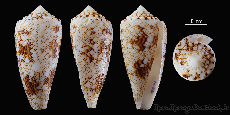 Conus (Cylinder) tagaroae   (Limpalaër & Monnier, 2013) - Page 2 1699_c10