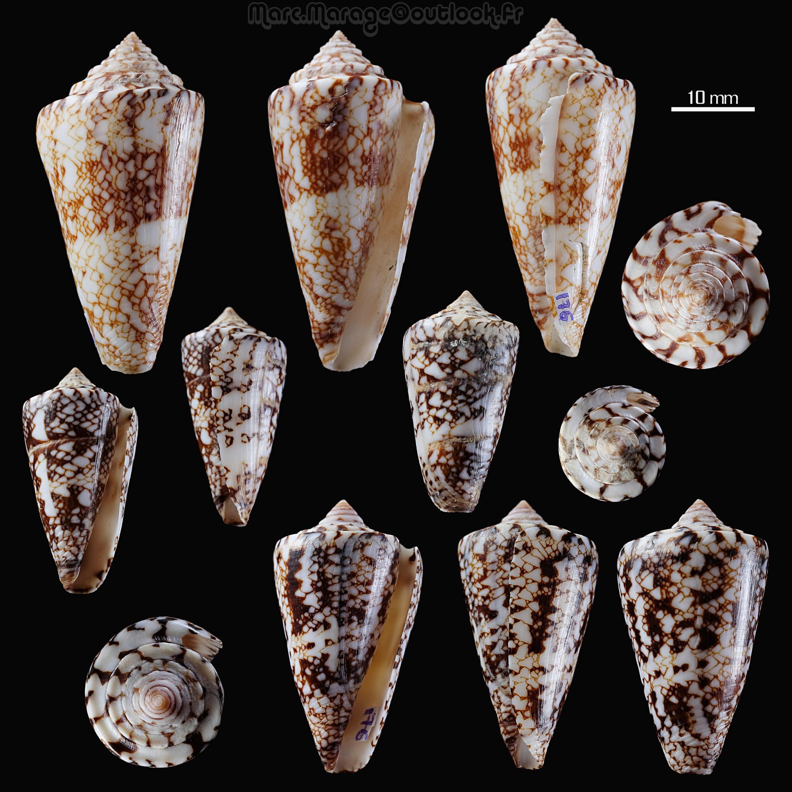 Conus (Leptoconus) locumtenens - Blumenbach, 1791 - Page 2 176_co11
