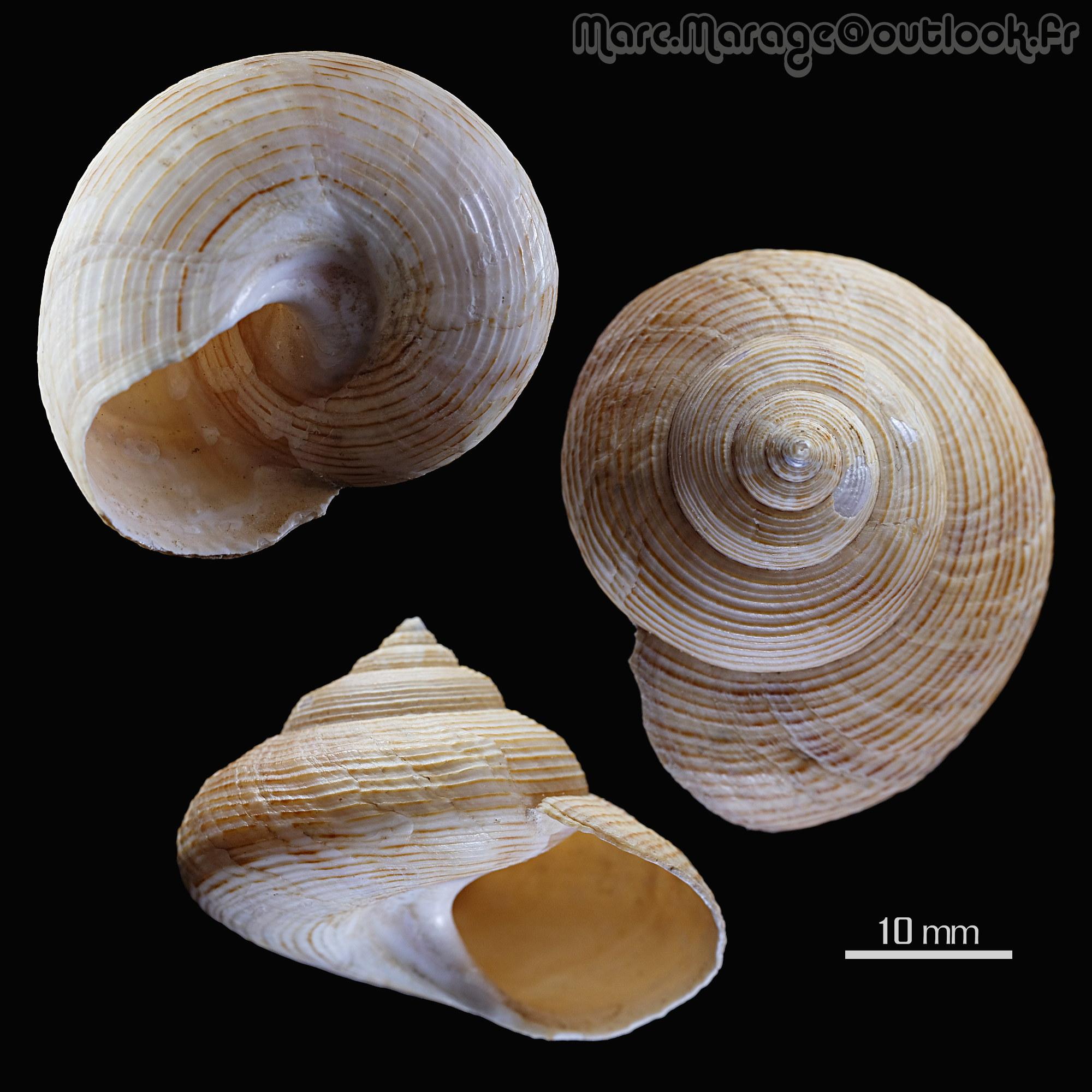 Calliostoma sp. Callio10