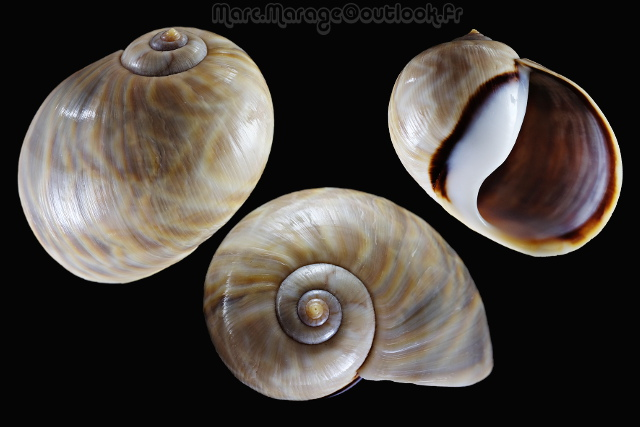 Ampullinidae - Cernina fluctuata - (G. B. Sowerby I, 1825)  Cernic10