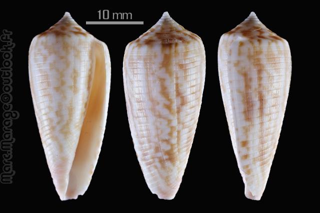Conus (Phasmoconus) oishii - Shikama, 1977 Conus_10