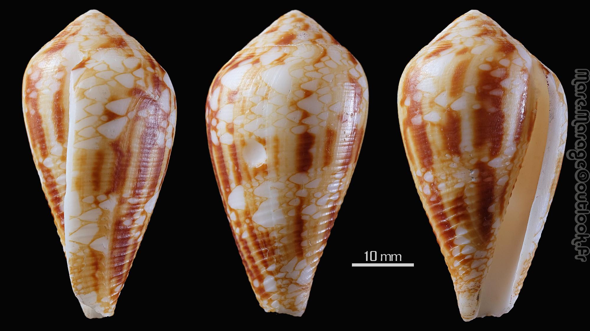 Conus (Cylinder) retifer   Menke, 1829 - Page 2 Conus_15