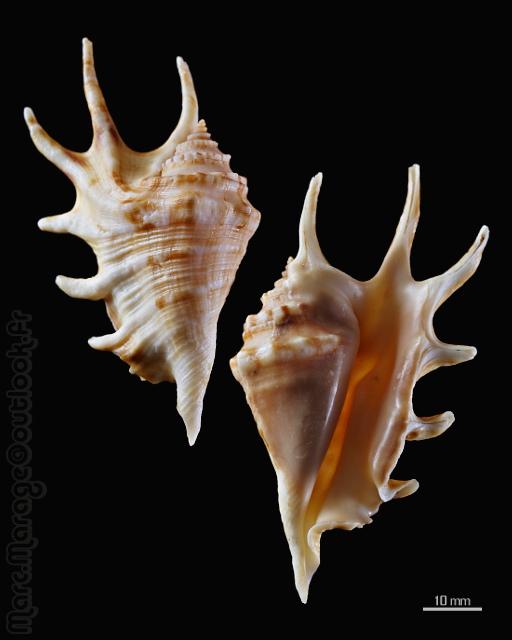 Lambis adamii (Bozzetti & T. Cossignani, 2003) voir Lambis lambis - (Linnaeus, 1758) - Page 2 Lambis10