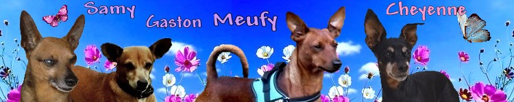Adoption Tomy pinscher de 8 ans. Kilou_25