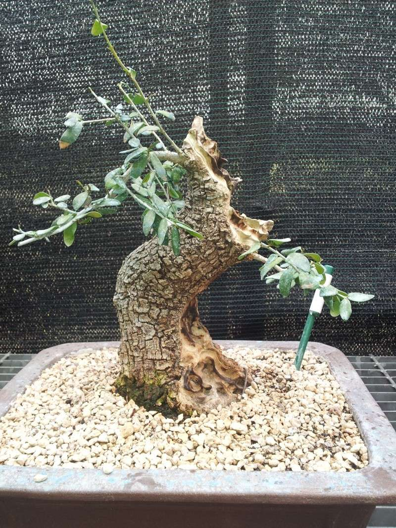 shok idrico /stasi vegetativo olivastro 20120411
