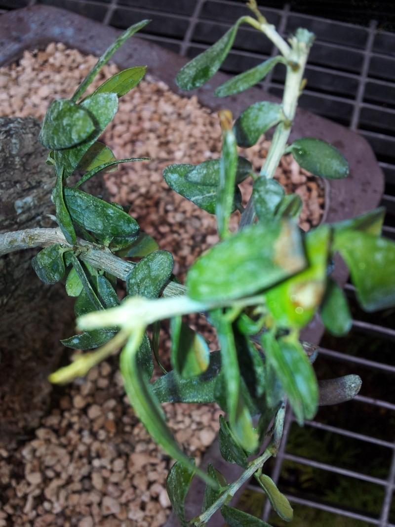 shok idrico /stasi vegetativo olivastro 20120413