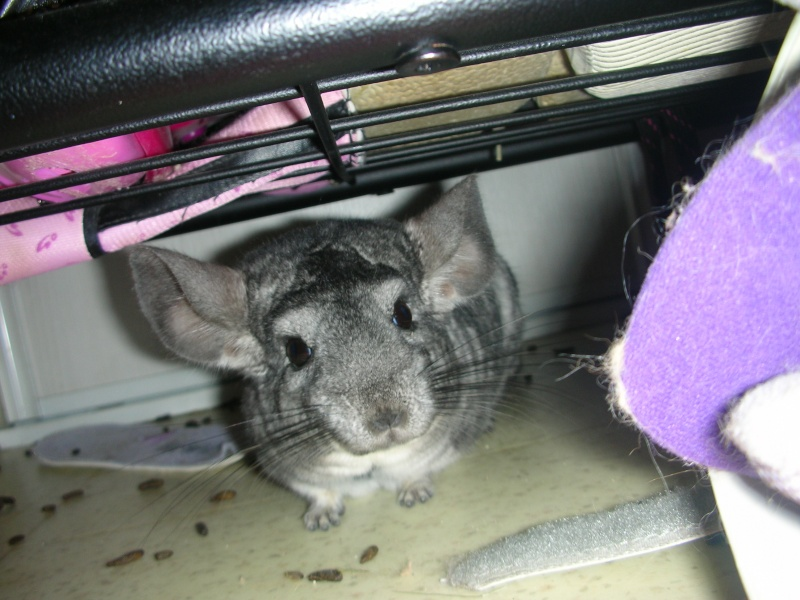 Yoshi, chinchilla mâle d'1 an 1/2  Adopté !!! Animau39