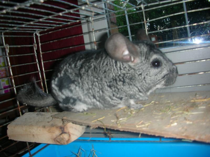 Yoshi, chinchilla mâle d'1 an 1/2  Adopté !!! Chiens15
