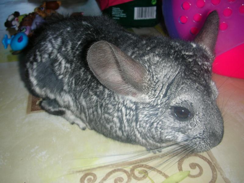 Yoshi, chinchilla mâle d'1 an 1/2  Adopté !!! Chiens16