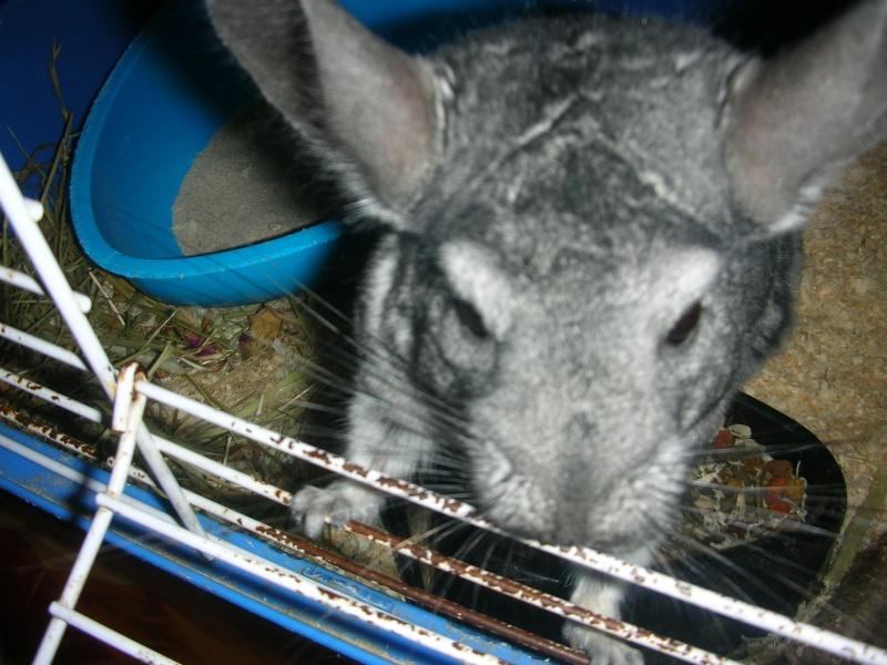 Yoshi, chinchilla mâle d'1 an 1/2  Adopté !!! Yoshi_14