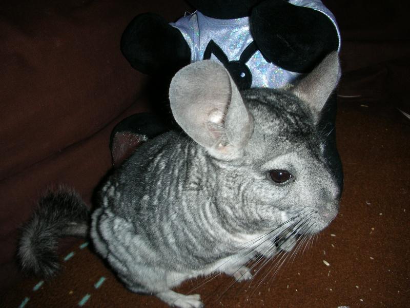Yoshi, chinchilla mâle d'1 an 1/2  Adopté !!! Yoshi_16
