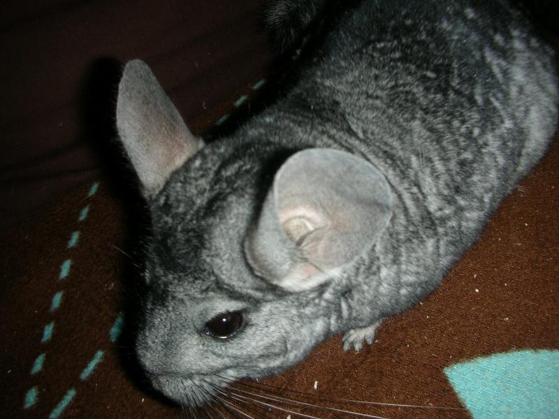 Yoshi, chinchilla mâle d'1 an 1/2  Adopté !!! Yoshi_17