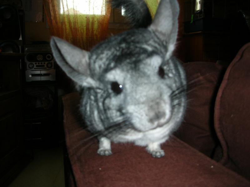 Yoshi, chinchilla mâle d'1 an 1/2  Adopté !!! Yoshi_18