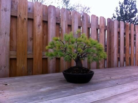 Pinus Strobus Really