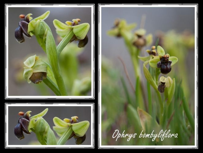 Ophrys bombyliflora à Gruissan [10 04 12] Espace10
