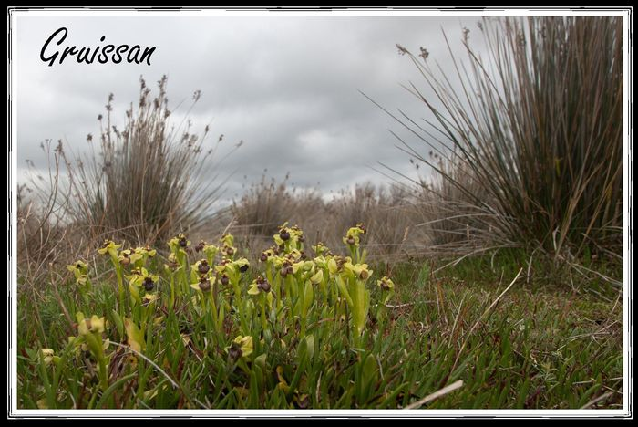Ophrys bombyliflora à Gruissan [10 04 12] Gruiss10
